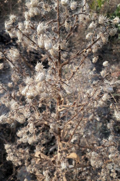 Dry queen - Liman