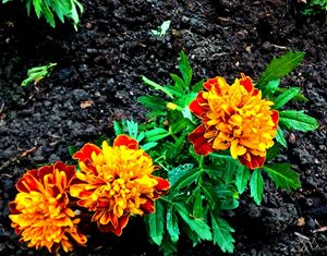 Yellow Flowers-1