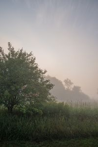 Pasture and trees in morning fog