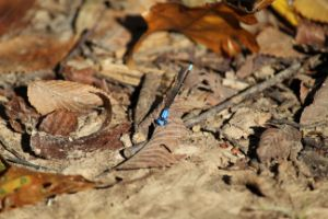 Nice to Meet You Dragonfly - Nina La Marca Artistic Photography