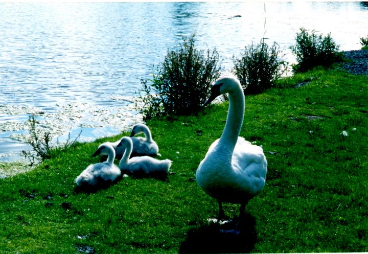 Mama and Baby Swans Watch Daddy Swim - Nina La Marca Artistic Photography