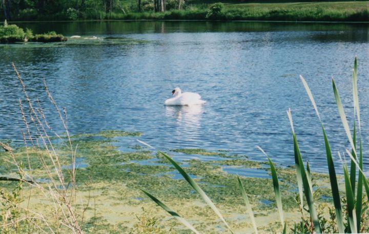 Daddy Swan Enjoys a Swim - Nina La Marca Artistic Photography