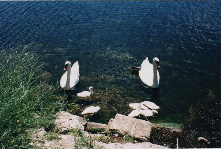 Mama & Daddy Swan Protect Six Babies - Nina La Marca, Artist's Photography