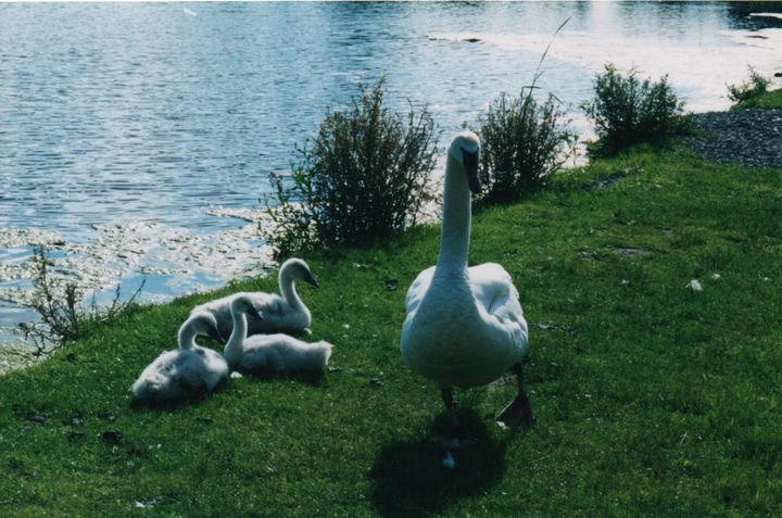 Mama Swan Guards her Babies - Nina La Marca, Artist's Photography