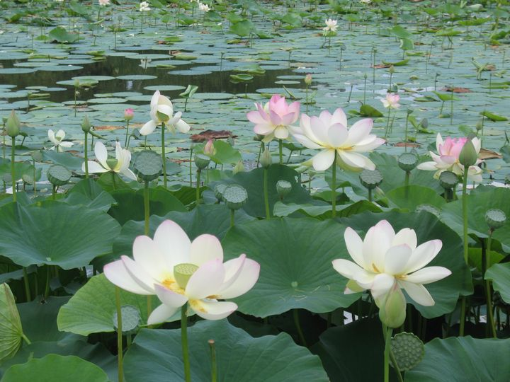Blooming Water Lily Pond - Nina La Marca, Artist's Photography on Artpal