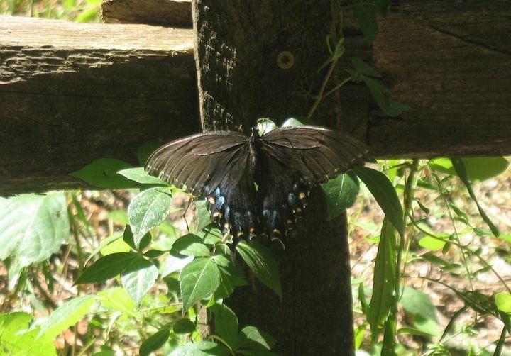 Beautiful Blue-tailed Butterfly - Nina La Marca, Artist's Photography