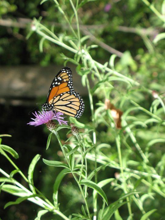 Monarch at Lake Huron - Nina La Marca, Artist's Photography