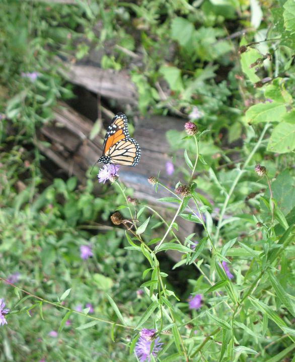 Monarch Migration Ontario - Nina La Marca, Artist's Photography on Artpal
