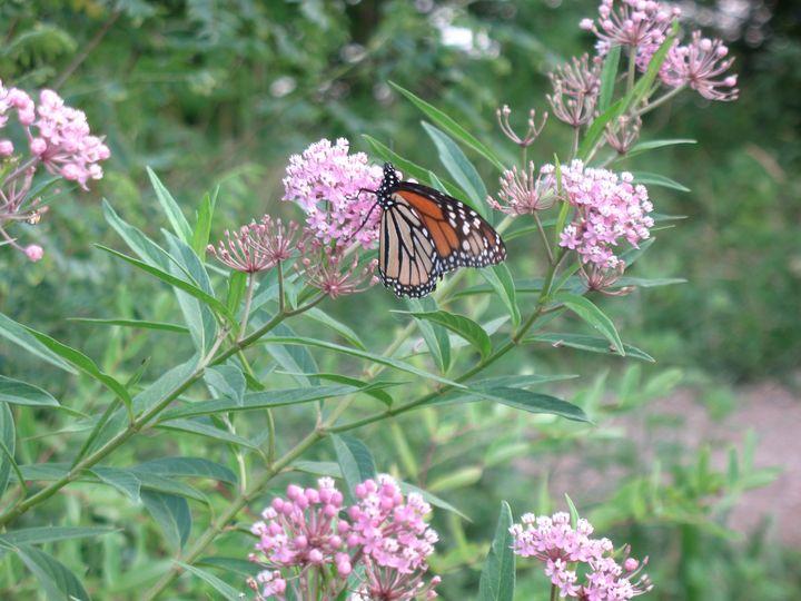 Monarch Migration at Eagle Creek - Nina La Marca, Artist's Photography