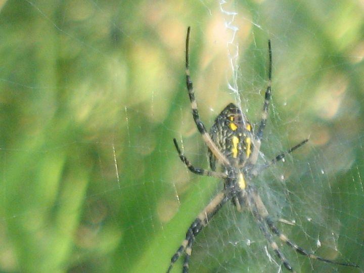Yellow Zigzag Garden Spider - Nina La Marca, Artist's Photography