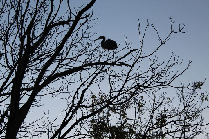 Blue Heron on High at Dusk - Nina La Marca, Artist's Photography