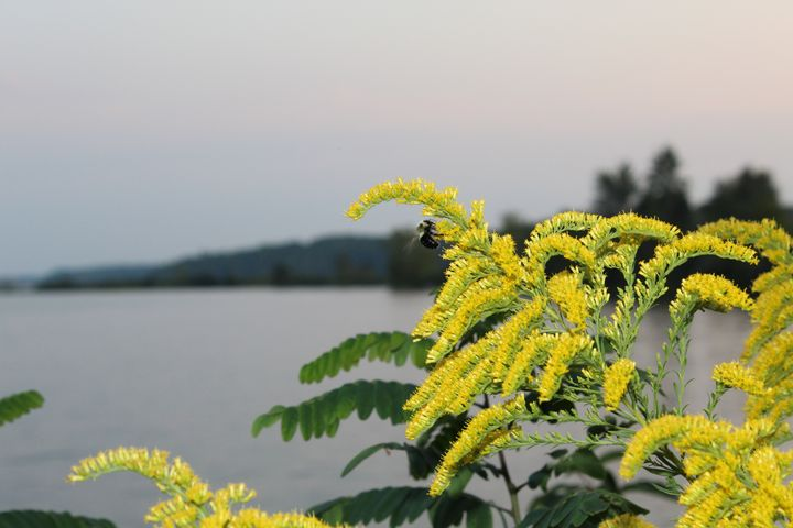 Goldenrod Bee Buzz - Nina La Marca Artistic Photography