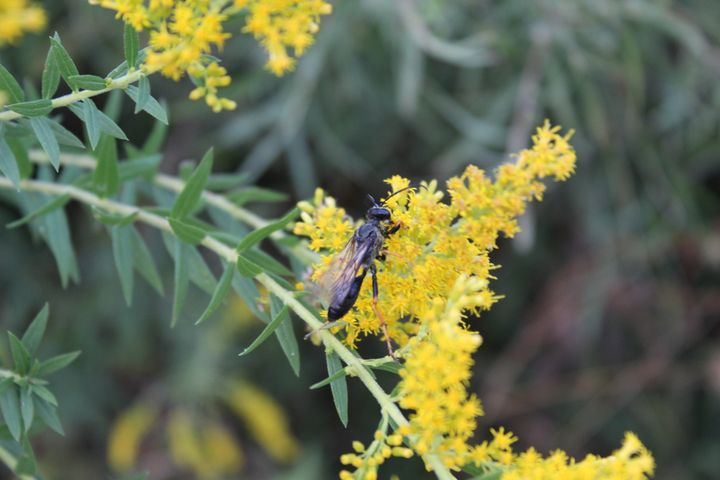 Wasp Likes Goldenrod Too - Nina La Marca Artistic Photography