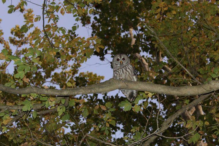 Barred Owl, Eagle Creek - Nina La Marca Artistic Photography