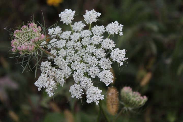 Queen Anne's Lace in Autumn - Nina La Marca, Artist's Photography