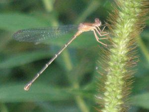 Dragonfly Daze 2