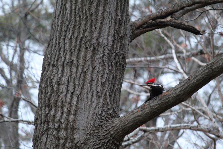 Pensive Pilated Woodpecker - Nina La Marca, Artist's Photography on Artpal