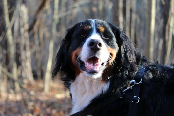 Meet Mary, a Burnese Mountain Dog - Nina La Marca, Artist's Photography