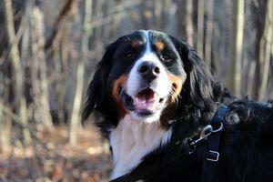 Meet Mary, a Burnese Mountain Dog