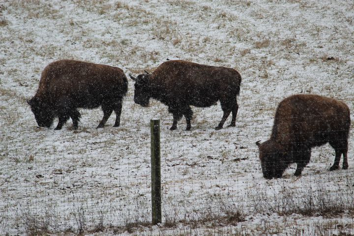 Grazing as the Snow Falls - Nina La Marca, Artist's Photography on Artpal