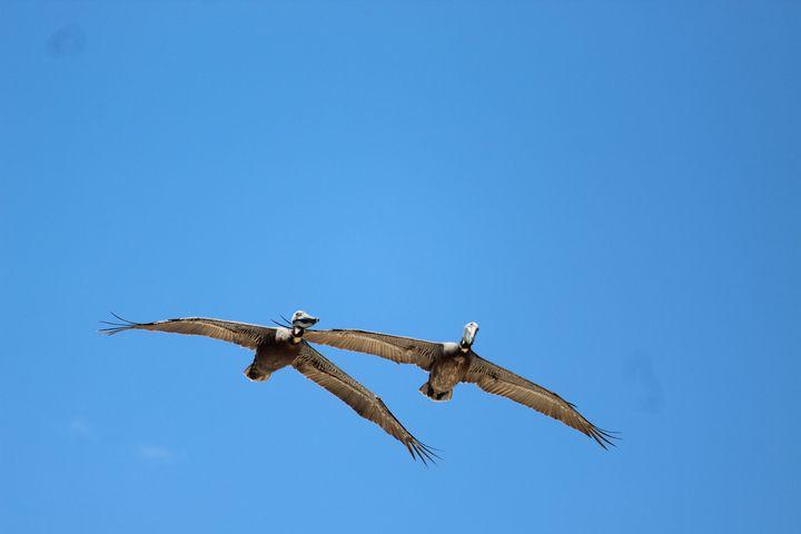 Pelicans Overhead - Nina La Marca, Artist's Photography on Artpal