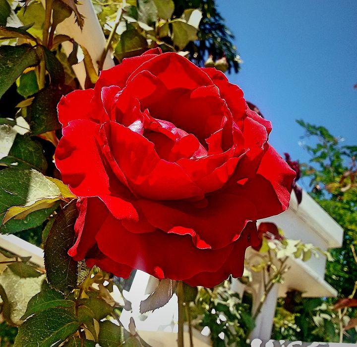 Red rose sunshine - S.Lane