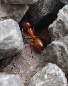 Close up,of a fire ant