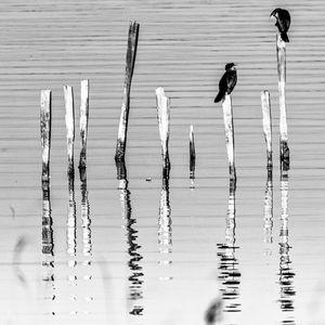 Cormorants post reflection