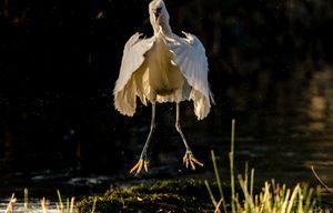 Jumping Little Egret