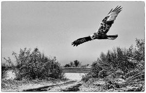 Buzzard in flight winter migration