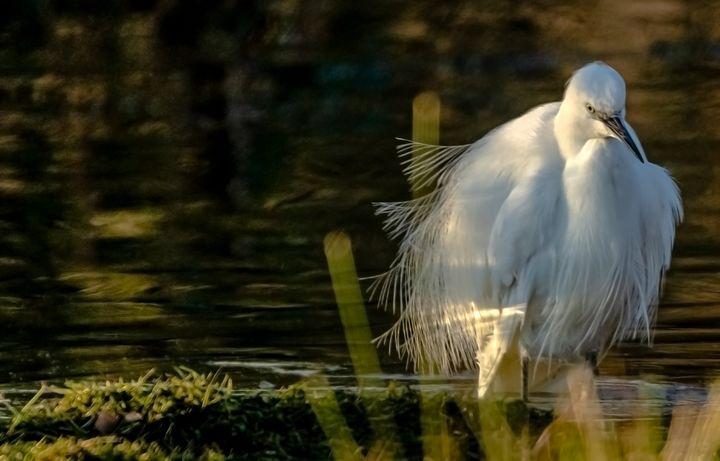 Little Egret - Cliff Norton NPA Wildlife Image's