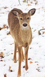 Deer - J. Satterstrom Designs