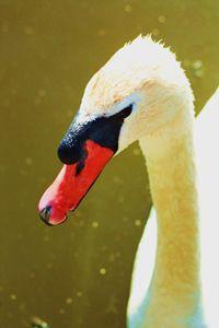 Unique Swan