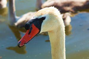 Swan- Close Up - J. Satterstrom Designs