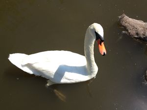 Swan Swimming with Babies