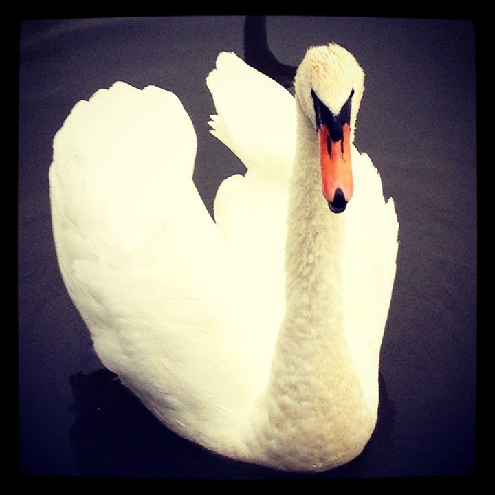 Male Swan - J. Satterstrom Designs