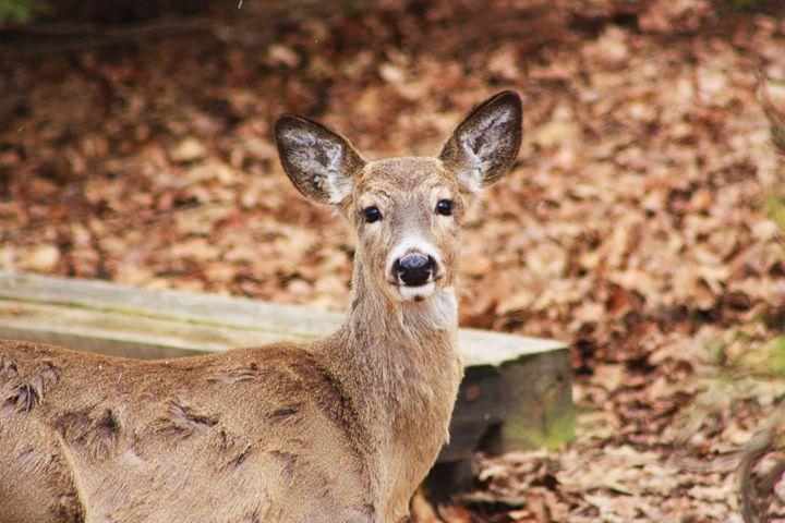 Deer in the North Woods - J. Satterstrom Designs