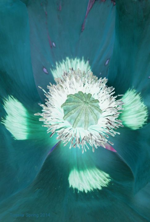 Papaver closeup 2014 VIII - Tussila Spring Fine art