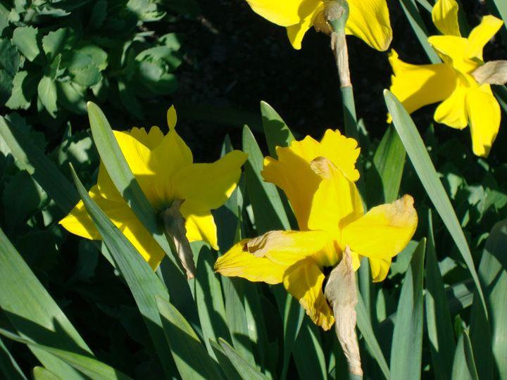 Narcissus - Flower Power
