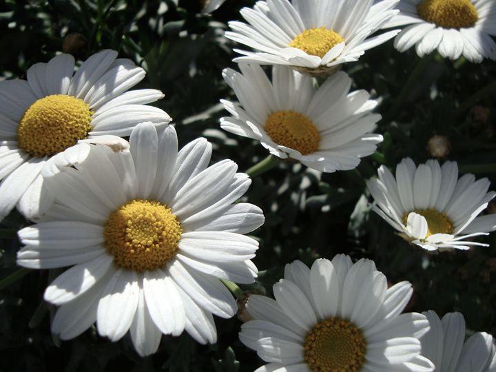 Daysies In Shades - Flower Power