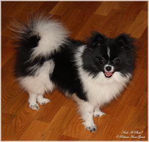 Black And White Parti Pomeranian