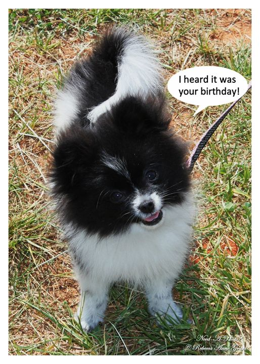 Black Parti Pom Puppy Birthday Card - Need-A-Photo?
