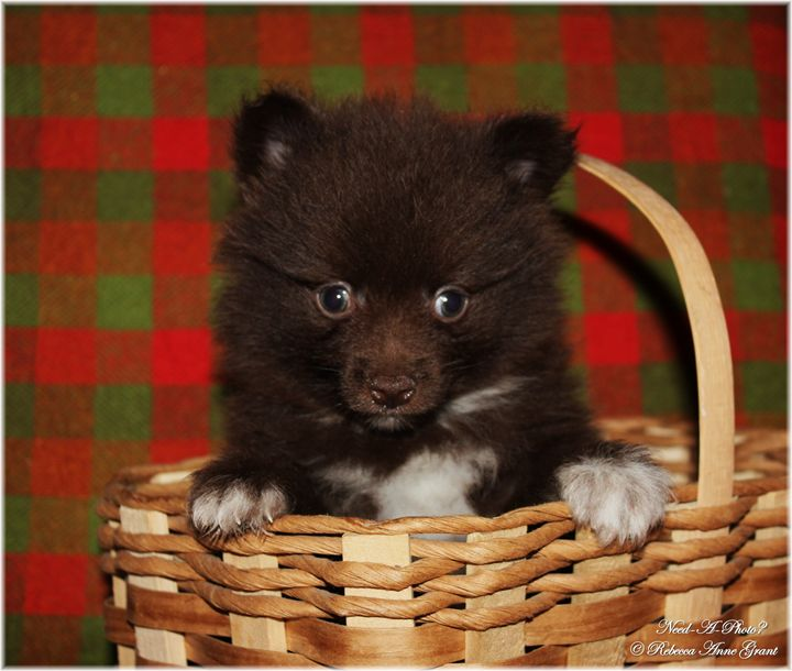 Chocolate And White Pomeranian - Need-A-Photo?