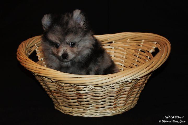 Blue Merle Pomeranian Puppy - Need-A-Photo?