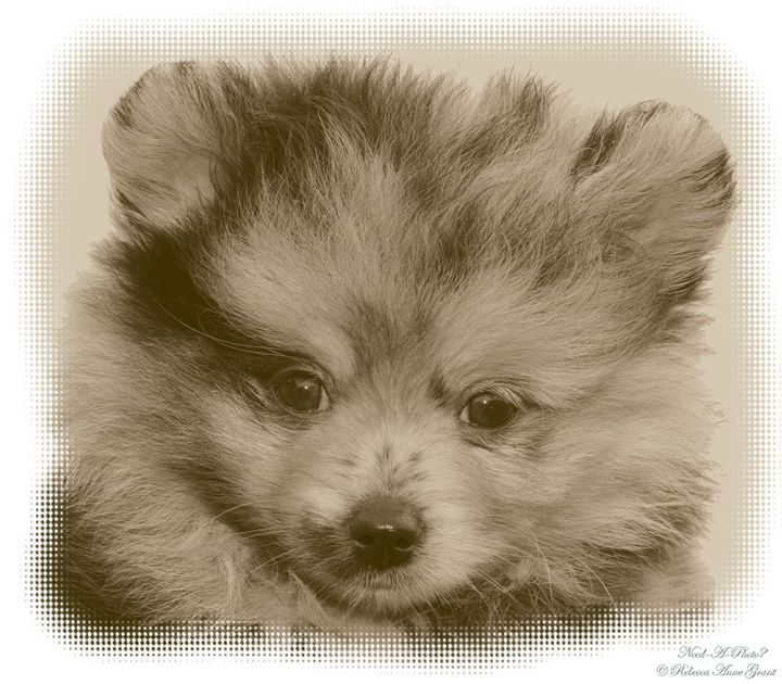 A Merle Pomeranian Puppy - Need-A-Photo?