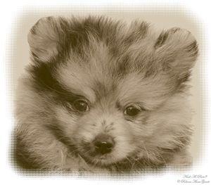 A Merle Pomeranian Puppy