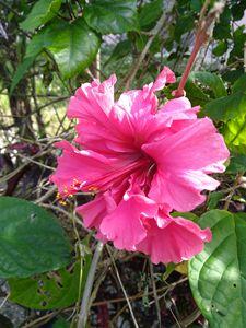 Bahamian pink hibiscus
