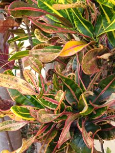 Variegated corkscrew croton
