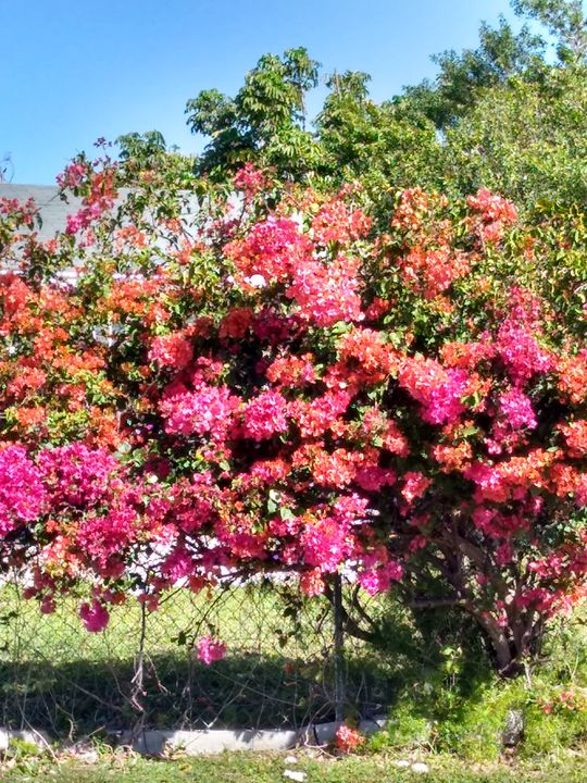 Multicolored clustered bougainvillea - Kaye's Kreations