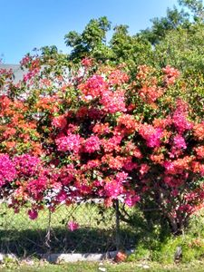 Multicolored clustered bougainvillea